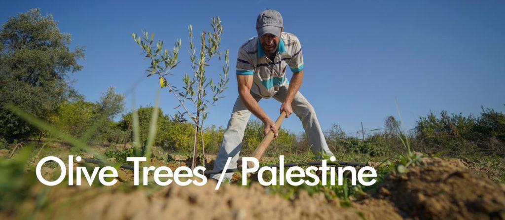 Olive Trees Palestine