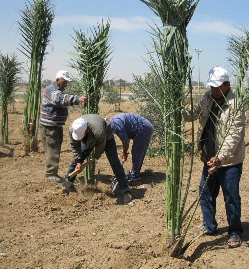 Olive plantation in Palestine