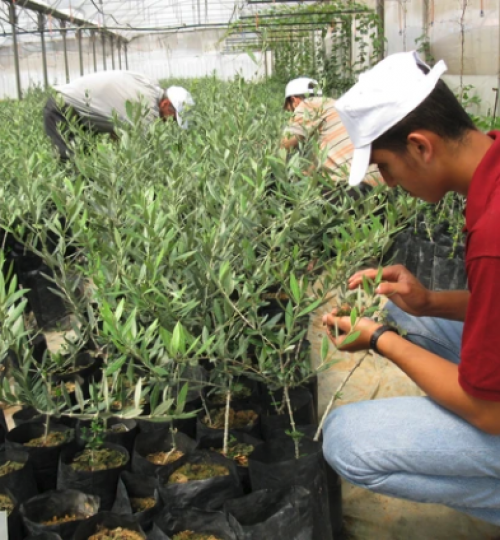 Olive nursery in Palestine