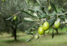 olive-tree-9