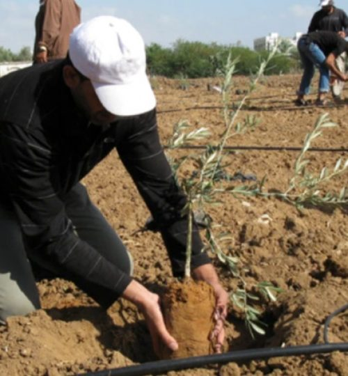 Palestine Olive Trees Campaign